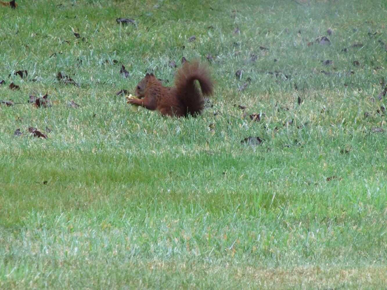 Un instant rare mais magique avec cet écureuil dans notre parc ©